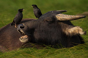Crested myna starlings (Arcidotheres cristatellus) sitting on domestic waterbuffaloes (Bubalus domesticus), Poyang Ho Lake, Jiangxi province, China - Staffan Widstrand