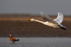 Bewick's or Tundra swan (Cygnus columbianus) and a Ruddy shelduck (Tadorna ferruginea), wintering at the Poyang Ho Lake, Jiangxi province, China  -  Staffan Widstrand / Wild Wonders of China