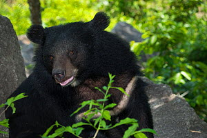 Asiatic black bear (Ursus thibetanus) vulnerable species, captive occurs in eastern Asia.  -  Roland  Seitre