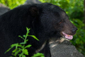 Asiatic black bear (Ursus thibetanus) portrait,  vulnerable species, captive occurs in eastern Asia.  -  Roland  Seitre
