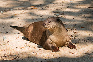 Smooth-coated otter (Lutrogale perspicillata) resting, vulnerable species, captive occurs in Asia. - Roland  Seitre