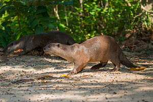 Smooth-coated otter (Lutrogale perspicillata) vulnerable species, captive occurs in Asia. - Roland  Seitre