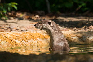 Smooth-coated otter (Lutrogale perspicillata) in water, vulnerable species, captive occurs in Asia, - Roland  Seitre