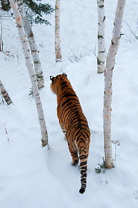 Amur tiger (Panthera tigris altaica) walking through snow, captive in zoo. Endangered species. - Roland  Seitre