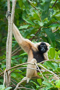 Pileated gibbon (Hylobates pileatus) female in tree,  Angkor Centre for Conservation of Biodiversity, Siem Reap, Cambodia. Endangered species.  -  Roland  Seitre