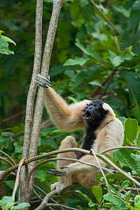 Pileated gibbon (Hylobates pileatus) female calling in tree,  Angkor Centre for Conservation of Biodiversity, Siem Reap, Cambodia. Endangered species.  -  Roland  Seitre