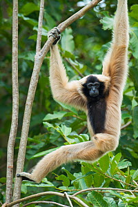 Pileated gibbon (Hylobates pileatus) female climbing through trees, Angkor Centre for Conservation of Biodiversity, Siem Reap, Cambodia. Endangered species. - Roland  Seitre