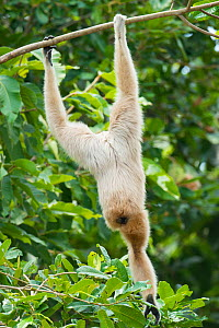 Pileated gibbon (Hylobates pileatus) female hanging upside down from tree to pick leaves, Angkor Centre for Conservation of Biodiversity, Siem Reap, Cambodia. Endangered species.  -  Roland  Seitre
