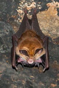 Least leaf-nosed bat (Hipposideros cineraceus) roosting in Bayon Temple, Siem Reap, Angkor, Cambodia. - Roland  Seitre