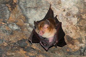 Least leaf-nosed bat (Hipposideros cineraceus) in Bayon Temple, Siem Reap, Angkor, Cambodia. - Roland  Seitre