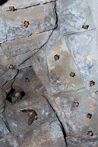 Andersen's leaf-nosed bat (Hipposideros pomona) group roosting on walls of Bayon Temple, Siem Reap, Angkor, Cambodia.  -  Roland  Seitre