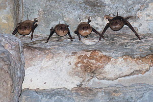 Theobold's bat (Taphozous theobaldi) four hanging upside down in Bayon Temple, Siem Reap, Angkor, Cambodia.  -  Roland  Seitre