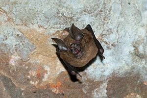 Indochinese horseshoe bat (Rhinolophus chaseni) hanging upside down from ceiling, Prasat Preah Kahn temple, Angkor complex, Siem Reap, Cambodia.  -  Roland  Seitre