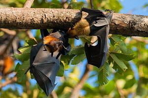 Lyle's flying fox (Pteropus lylei) two hanging upside down and interacting, Siem Reap, Angkor Vat, Cambodia. Vulnerable species.  -  Roland  Seitre