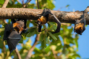 Lyle's flying fox (Pteropus lylei) group hanging upside down, Siem Reap, Angkor Vat, Cambodia. Vulnerable species.  -  Roland  Seitre