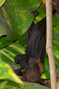 Lyle's flying fox (Pteropus lylei) hanging upside down, Siem Reap, Angkor Vat, Cambodia. Vulnerable species.  -  Roland  Seitre