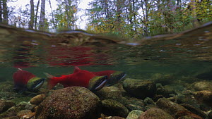 Sockeye salmon (Oncorhynchus nerka) interacting in shallow river, males chasing each other while female waits over gravel suitable for depositing her eggs after fertilization. Adams River, British Col...  -  Brandon Cole