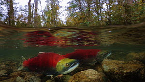 Sockeye Salmon (Oncorhynchus nerka), mated pair together preparing to spawn, split level view showing forest, Adams River, British Columbia, Canada, October 2014 - Brandon Cole