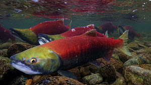 Sockeye salmon (Oncorhynchus nerka), mated pair, side by side preparing to spawn in a shallow river while other male rivals swim in the background. Adams River, British Columbia, Canada, October 2014 - Brandon Cole
