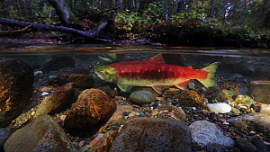 Sockeye salmon (Oncorhynchus nerka) female and male preparing to spawn in shallow river, with the forest visible above the waterline. Adams River, British Columbia, Canada, October 2014 - Brandon Cole
