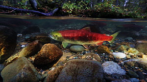 Sockeye Salmon (Oncorhynchus nerka), male and female preparing to spawn in shallow river, with the forest visible above the waterline. Adams River, British Columbia, Canada, October 2014 - Brandon Cole