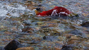 Sockeye salmon (Oncorhynchus nerka), male sockeye salmon fighting up a shallow stream on its migration to spawning beds. Adams River, British Columbia, Canada, October 2014  -  Brandon Cole