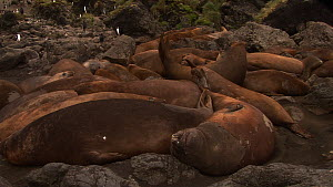 Group of moulting male Southern elephant seals (Mirounga leonina) in a wallow, Macquarie Island, Sub-Antarctic Australia.  -  Fred  Olivier
