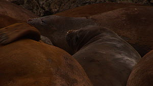 Close-up of a Southern elephant seal (Mirounga leonina) in a wallow, scratching moulting fur, Macquarie Island, Sub-Antarctic Australia.  -  Fred  Olivier