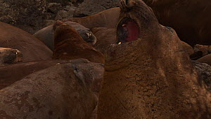 Close-up of a dominant male Southern elephant seal (Mirounga leonina) calling, Macquarie Island, Sub-Antarctic Australia.  -  Fred  Olivier