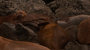 Group of moulting Southern elephant seals (Mirounga leonina) lying in a wallow, scratching, Macquarie Island, Sub-Antarctic Australia.  -  Fred  Olivier
