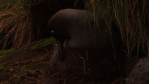 Light-mantled sooty albatross (Phoebetria palpebrata) maintaining its nest, Macquarie Island, Sub-Antarctic Australia.  -  Fred  Olivier