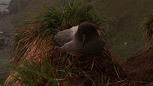 Light-mantled sooty albatross (Phoebetria palpebrata) building its nest, shot pans to another bird on a nest, Macquarie Island, Sub-Antarctic Australia.  -  Fred  Olivier
