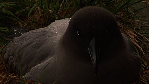 Close-up of a Light-mantled sooty albatross (Phoebetria palpebrata)on nest  incubating, Macquarie Island, Sub-Antarctic Australia.  -  Fred  Olivier