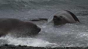 Two juvenile Southern elephant seals (Mirounga leonina) crawling onto beach in breaking waves, Macquarie Island, Sub-Antarctic Australia.  -  Fred  Olivier