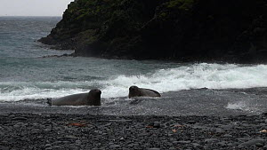 Two juvenile Southern elephant seals (Mirounga leonina) interacting on a beach with a rocky coastline background, Macquarie Island, Sub-Antarctic Australia.  -  Fred  Olivier