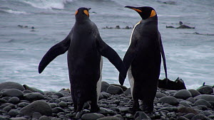 Two King penguins (Aptenodytes patagonicus) walking along the shore, shot tilts up from feet to head, Macquarie Island, Sub-Antarctic Australia. - Fred  Olivier
