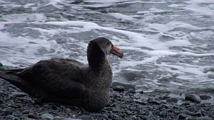 Southern giant petrel (Macronectes giganteus) resting along the edge of the shore, lacking alertness, potentially due to secondary poisoning from pest eradication, Macquarie Island, Sub-Antarctic Aust...  -  Fred  Olivier