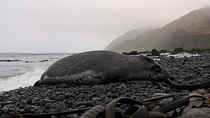 Leopard seal (Hydrurga leptonyx) sleeping on a beach, Macquarie Island, Sub-Antarctic Australia.  -  Fred  Olivier