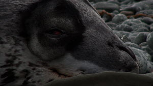 Close-up of a Leopard seal (Hydrurga leptonyx) sleeping on a beach, opens its eye, Macquarie Island, Sub-Antarctic Australia.  -  Fred  Olivier