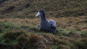 Southern giant petrel (Macronectes giganteus) sitting in grass, gets up and moves around, Macquarie Island, Sub-Antarctic Australia.  -  Fred  Olivier