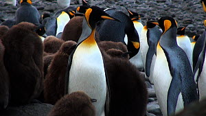 Pair of King penguins (Aptenodytes patagonicus) regurgitating and calling with chick nearby, Macquarie Island, Sub-Antarctic Australia.  -  Fred  Olivier