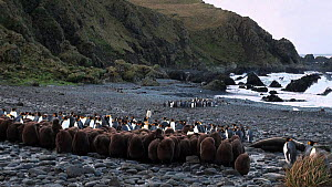 King penguin (Aptenodytes patagonicus) chick creche on a beach, with adults behind, Macquarie Island, Sub-Antarctic Australia.  -  Fred  Olivier