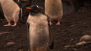 Gentoo penguin (Pygoscelis papua) chick, shivering from cold, Macquarie Island, Australian Antarctica.  -  Fred  Olivier