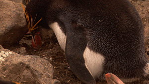 Royal penguin (Eudyptes schlegeli) brooding a chick on its feet, Macquarie Island, Australian Antarctica. - Fred  Olivier