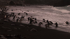 Wide angle shot of Royal penguins (Eudyptes schlegeli) on beach, Macquarie Island, Australian Antarctica. - Fred  Olivier