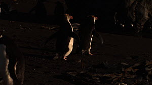 Royal penguins (Eudyptes schlegeli) walking on beach, Macquarie Island, Australian Antarctica. - Fred  Olivier