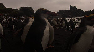 Close up of Royal penguins (Eudyptes schlegeli) on beach, Macquarie Island, Australian Antarctica. - Fred  Olivier