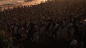 Backlit Royal penguin (Eudyptes schlegeli) colony, Macquarie Island, Australian Antarctica. - Fred  Olivier