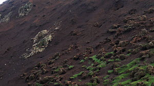 Panning shot revealing erosion caused by European rabbits (Oryctolagus cuniculus), Macquarie Island, Australian Antarctica. - Fred  Olivier