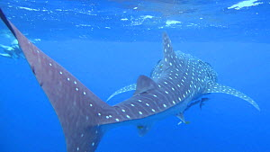 Whale shark (Rhincodon typus) swimming near the surface, Ningaloo Reef, Western Australia.  -  Fred  Olivier